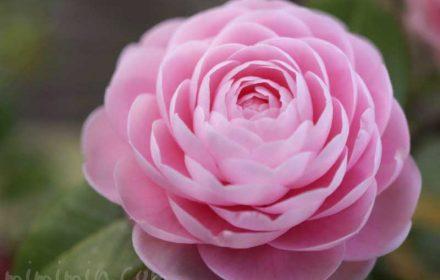 オトメツバキの写真と花言葉と名前の由来の画像