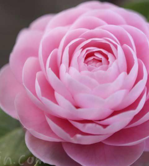オトメツバキ(乙女椿)の花言葉・名前の由来