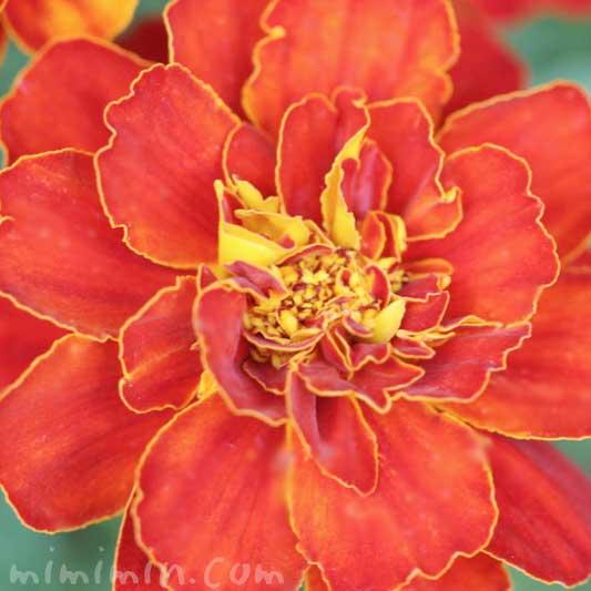 マリーゴールドの花 濃いオレンジ色