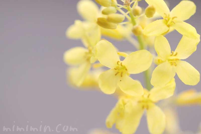 ハボタンの花の写真・花言葉の画像