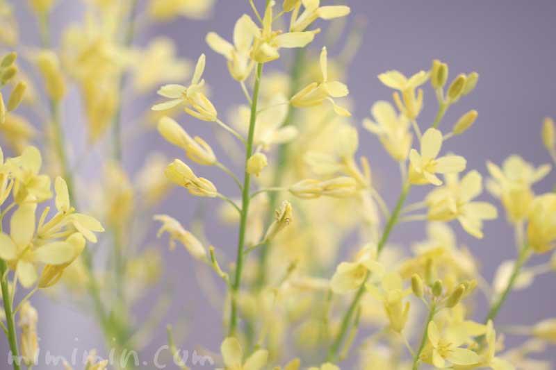 ハボタンの菜の花 の画像