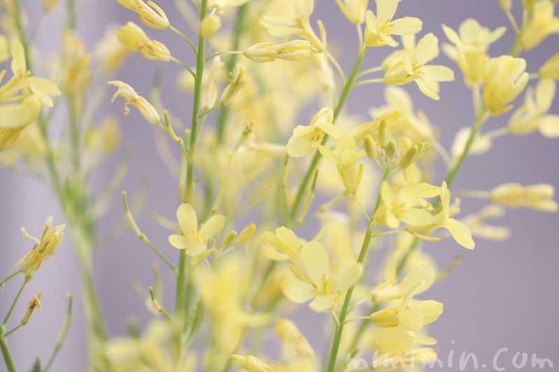 葉牡丹の花の写真