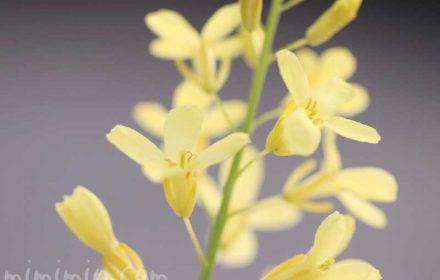 ハボタンの花の画像