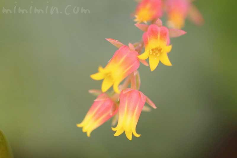 エチェベリアの花の画像