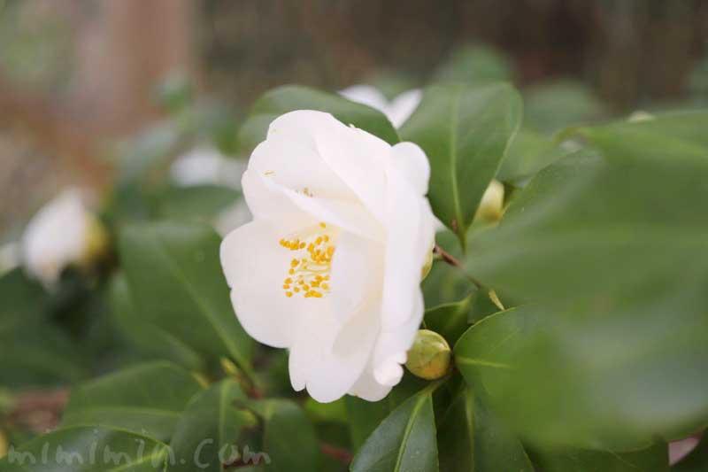 白いツバキの花言葉の写真