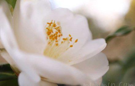 白いツバキの花の写真・花言葉の画像