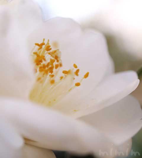 お散歩フォト・白い椿(ツバキ)の花の写真・花言葉
