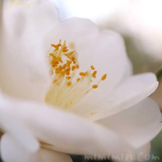 白い椿の花の写真・花言葉の画像