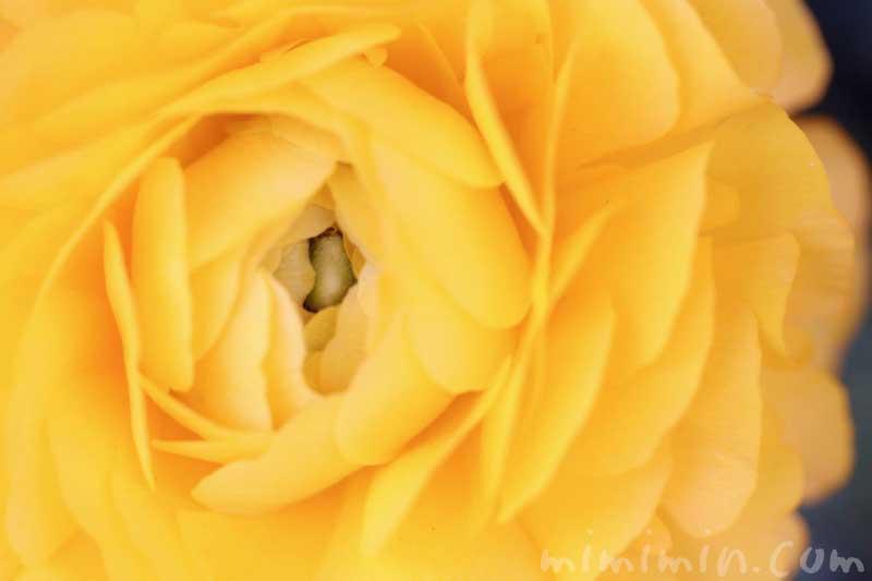 ラナンキュラスの花の写真・花言葉の画像