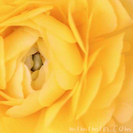 ラナンキュラスの写真・花言葉の画像