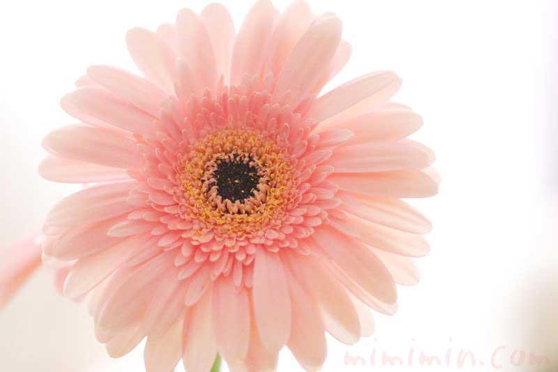 ガーベラ|薄いピンクの八重咲きガーベラの画像