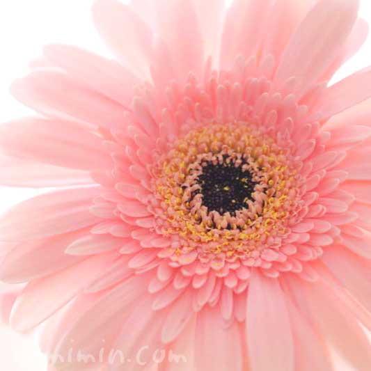 八重咲きガーベラ|薄ピンクの写真