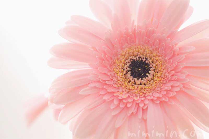 薄いピンクの八重咲きガーベラの花の画像