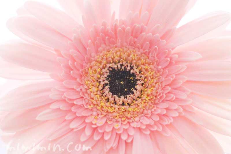 ガーベラの花|薄いピンクの八重咲きの画像