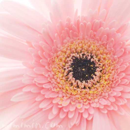 ガーベラ|薄いピンクの八重咲きの写真