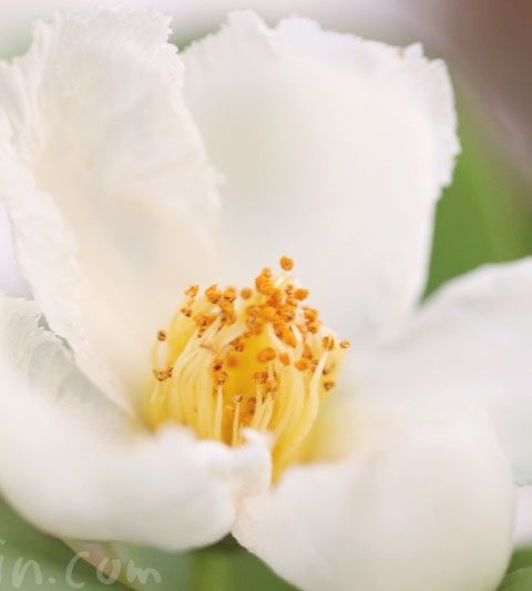 ナツツバキ(夏椿・沙羅の木)の花の写真・花言葉