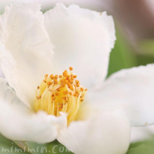 夏椿・沙羅の木の写真