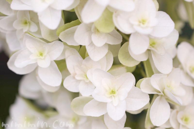 カシワバアジサイの写真・花言葉・誕生花の画像