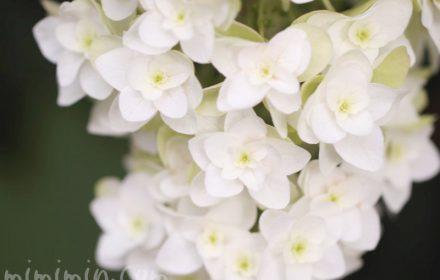 カシワバアジサイの花の写真と花言葉と誕生花