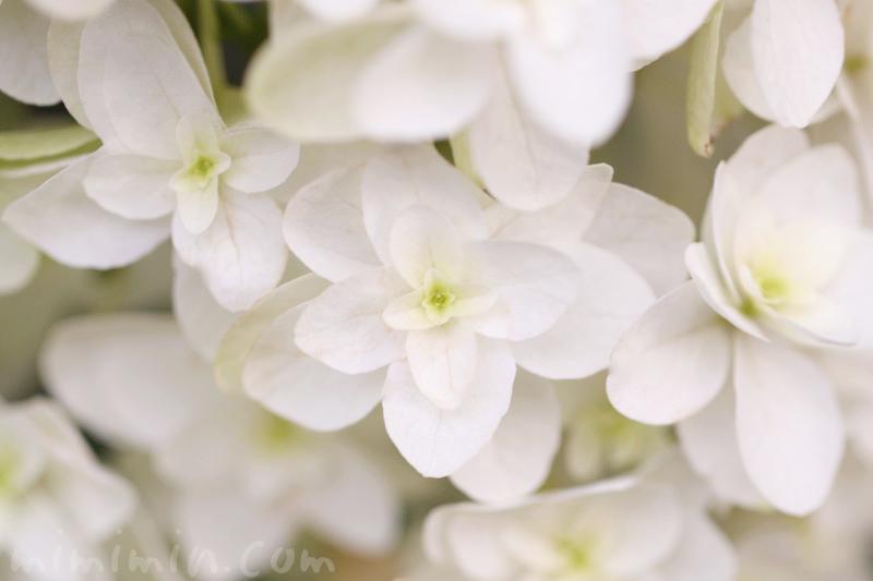 カシワバアジサイの花の写真・花言葉・誕生花の画像
