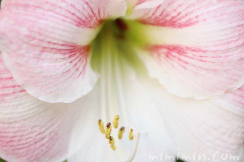 アマリリスの花の写真