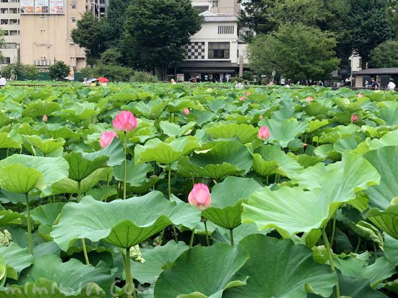 不忍池のハスの花の画像