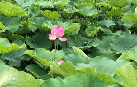 蓮(ハス)の花の写真