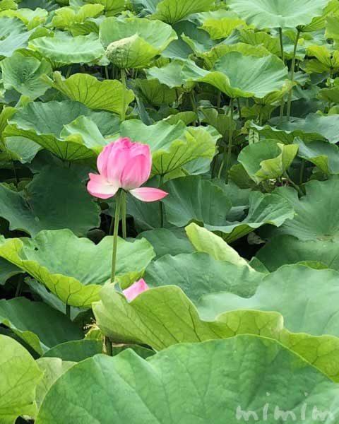 上野不忍池の蓮(ハス)の花の写真|花言葉・誕生花