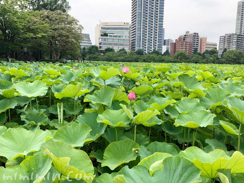 上野不忍池の蓮の花