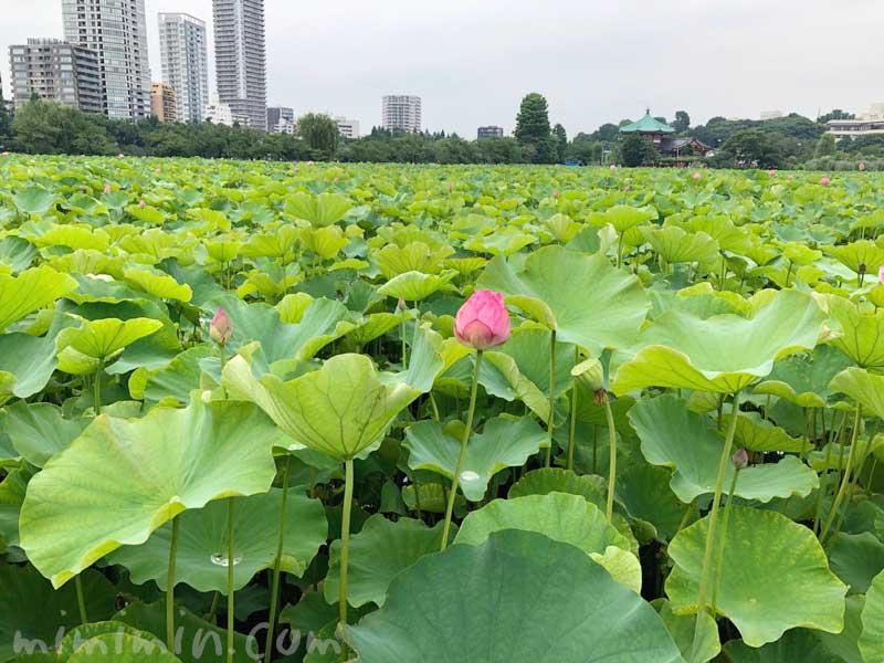 上野不忍池 蓮の花の写真