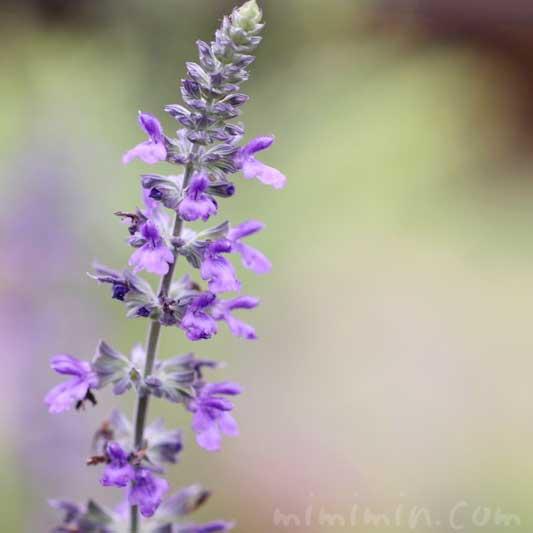 ラベンダーセージの花の写真