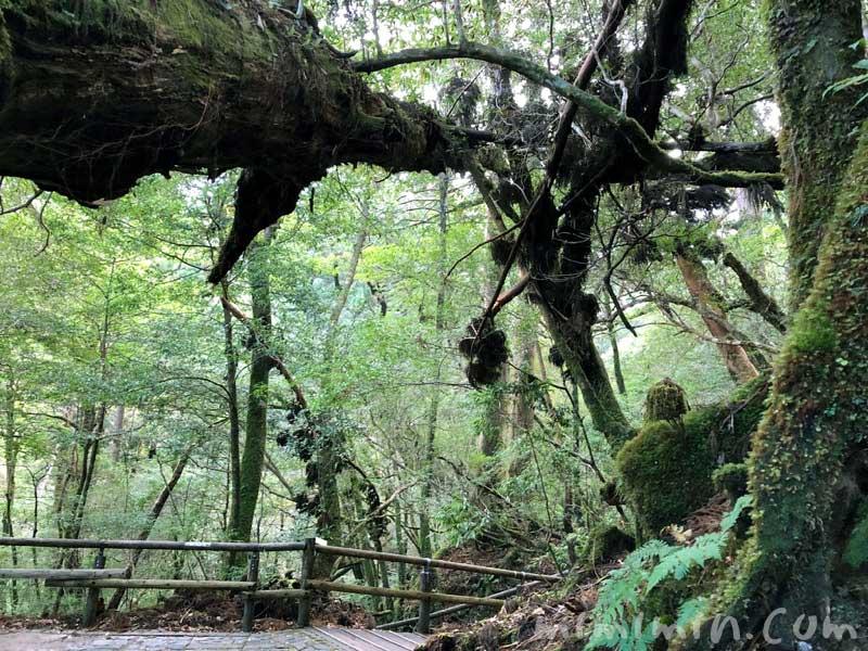 ヤクスギランド 屋久島の観光スポットの画像