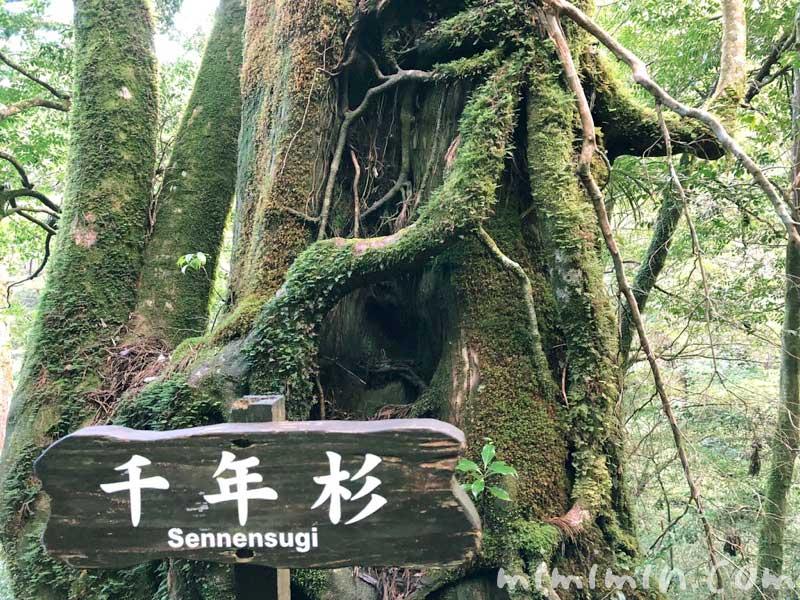千年杉の写真