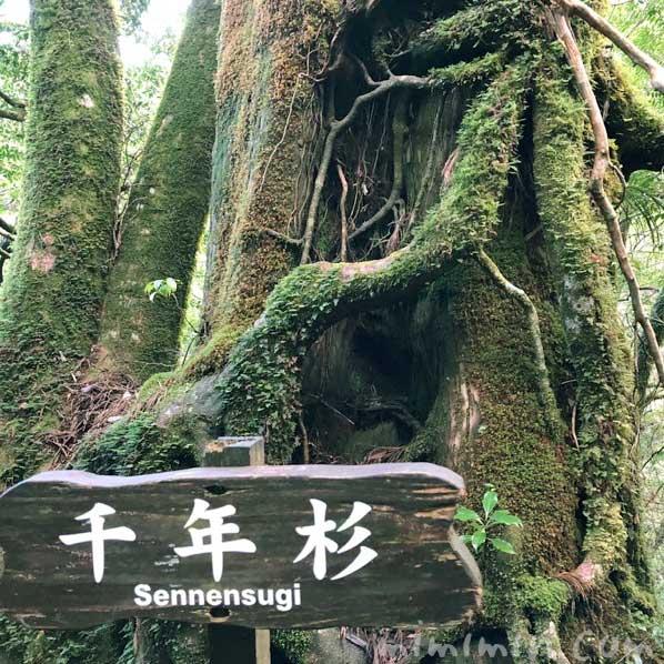 屋久島の千年杉の画像