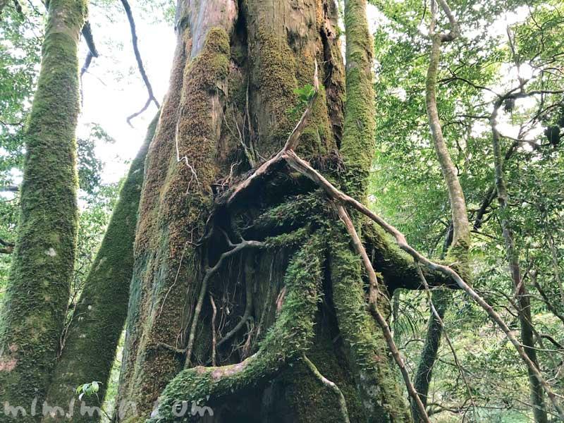 ヤクスギランドの千年杉の画像