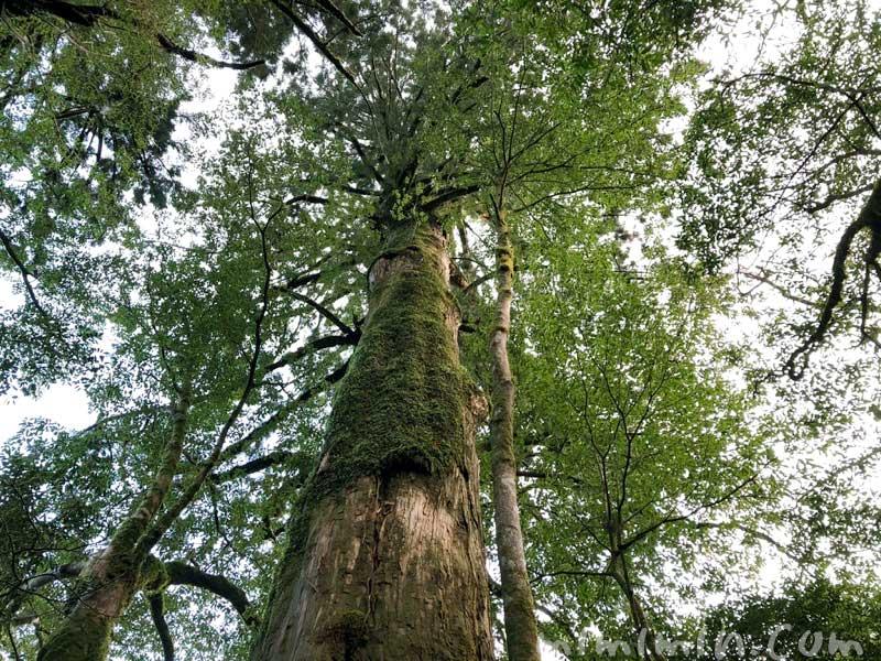 ヤクスギランドの杉の木の写真