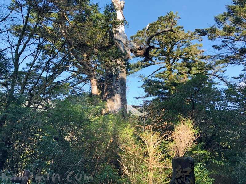 紀元杉の全景の画像