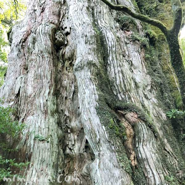 紀元杉 屋久島の杉の木の写真