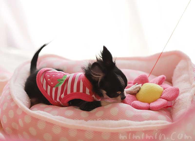 ピンク色の服を着たチワワのチクワちゃんの画像