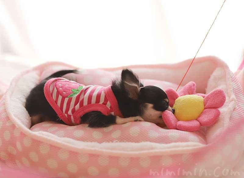 ピンク色の服を着た極小チワワのチクワちゃんの写真