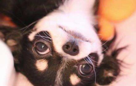 チワワのチクワちゃんのヘン顔の写真