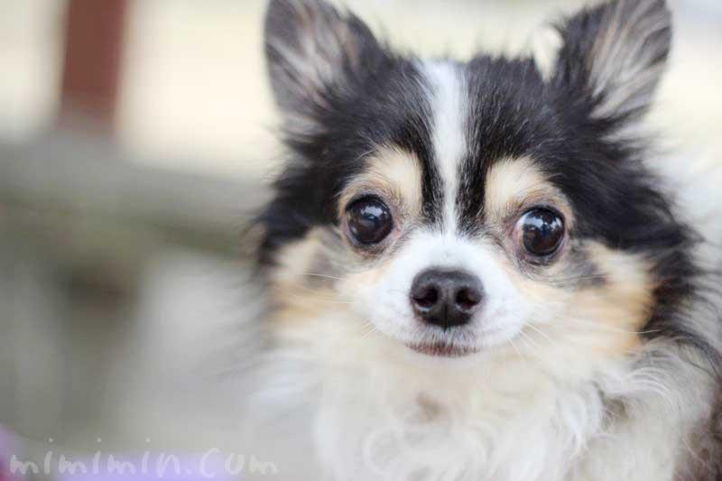 ワンコくんの画像|チワワ犬 ブラックタンの写真