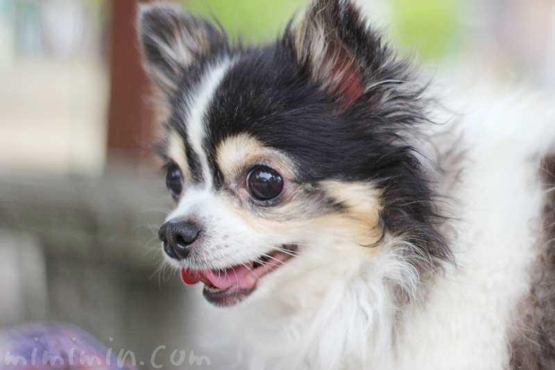 ワンコくんの写真|チワワ犬 ブラックタンの画像