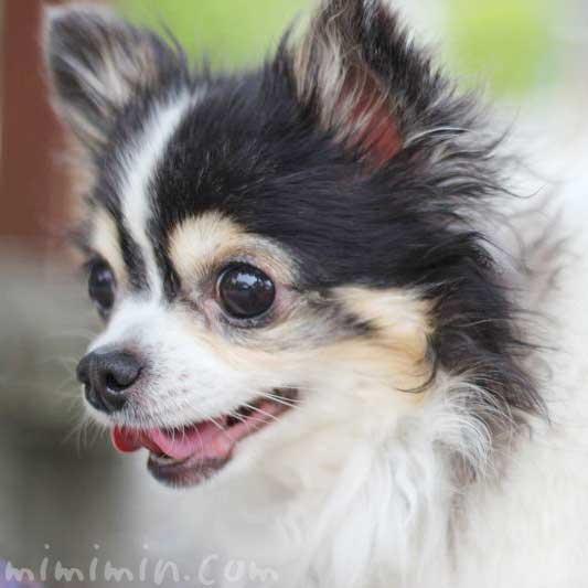 ワンコくんの写真アルバム|チワワ 犬の写真