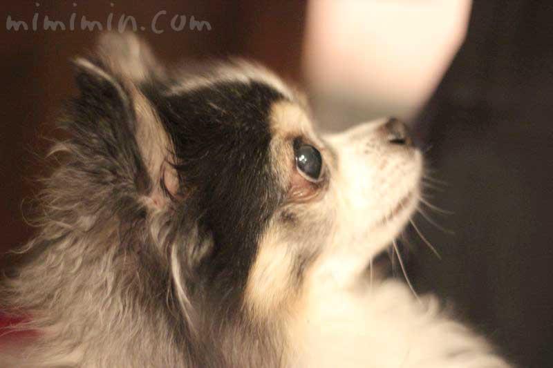 ワンコくん|チワワ犬 ブラタンの画像