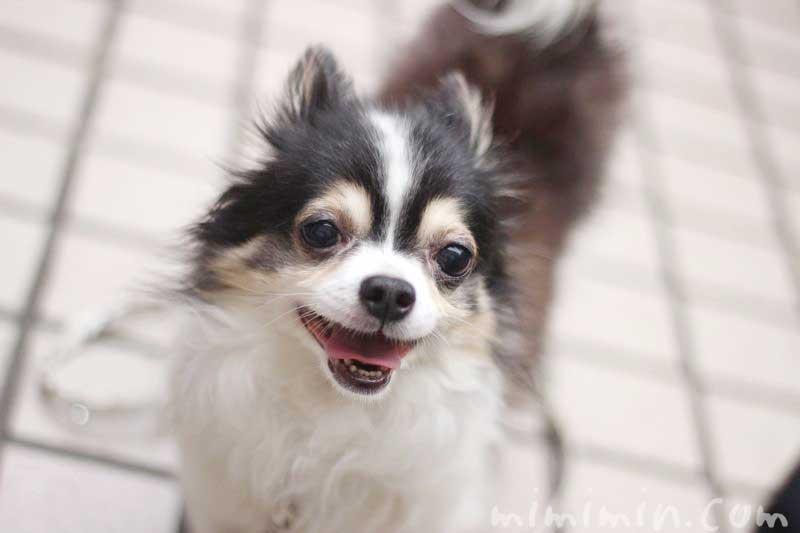 ワンコくんの写真|チワワ犬 ブラタン