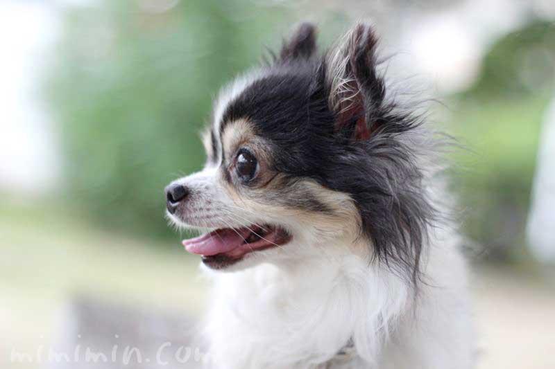ワンコくんの写真|白黒チワワ犬 ブラタンの画像