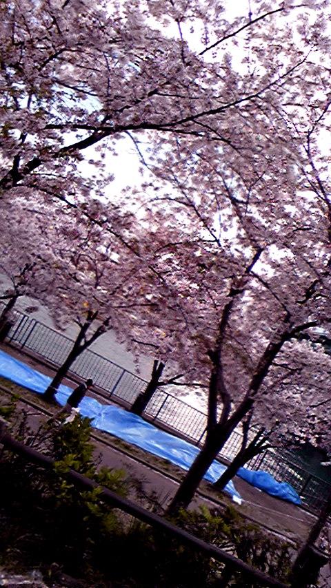 お花見「桜の通り抜け」の画像