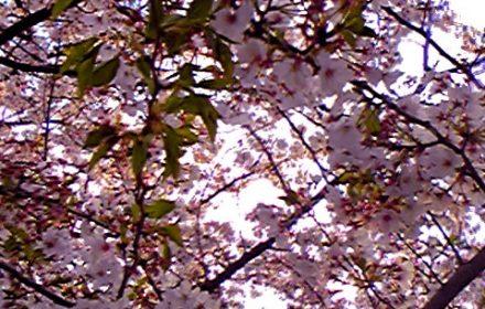 桜の通り抜けの写真