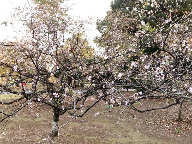 新宿御苑 冬桜の写真